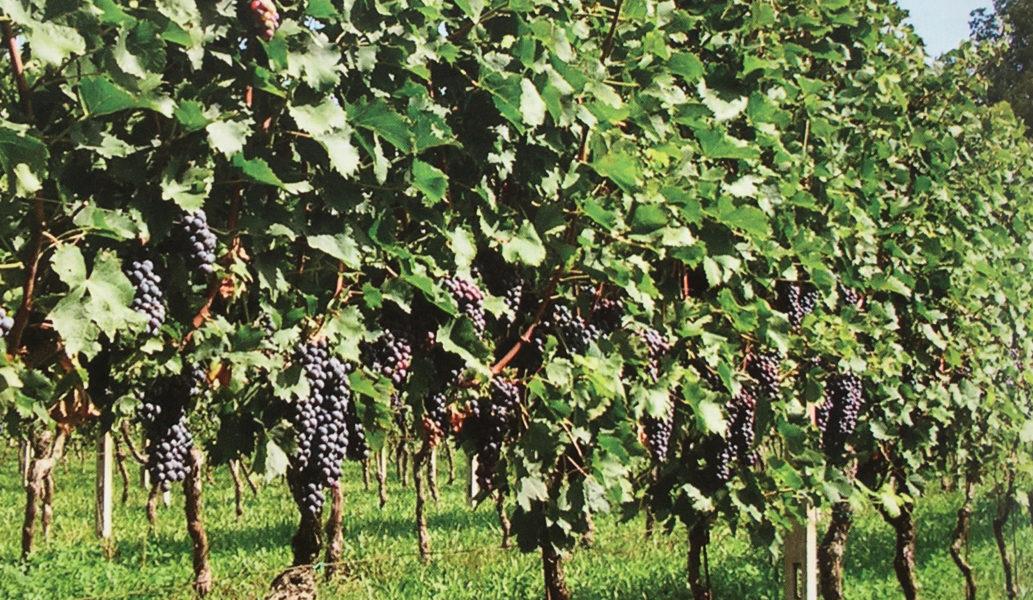Grappoli di uva Groppello