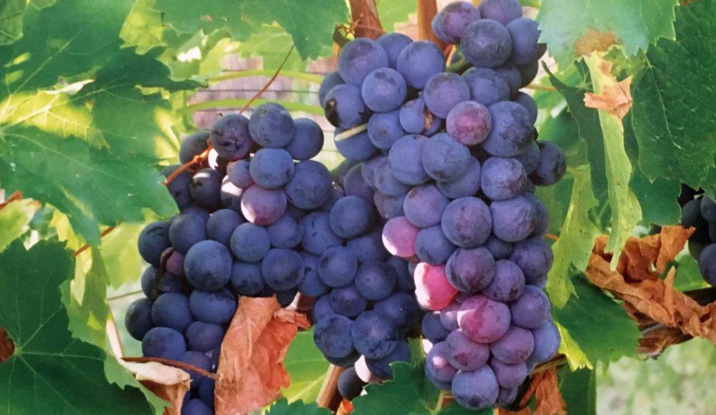 Grappolo di uva Groppello